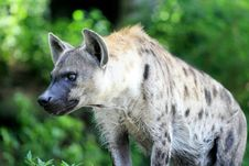 Free Hyena Stock Photos - 20985453