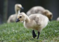 Free Gosling Stock Photography - 20985542