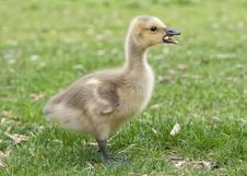 Free Gosling Stock Photography - 20985552