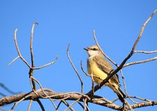 Western Kingbird On A Branch Royalty Free Stock Images