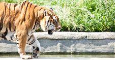 Free Walking Tiger (Panthera Tigris) Stock Images - 20986004