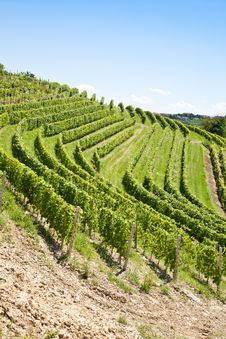 Free Italy - Piedmont Region. Barbera Vineyard Royalty Free Stock Image - 20986036