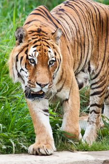Free Danger: Hungry Tiger Stock Photography - 20986132