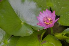 Free Purple Lotus Royalty Free Stock Photography - 20986767