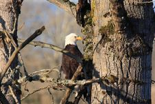 Free Bald Eagle Nesting Royalty Free Stock Photos - 20986858