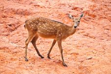 Free Fallow Deer  Close Up Royalty Free Stock Photography - 20986897