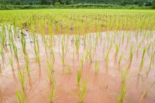 Paddy And The Rice Seedlings Royalty Free Stock Images
