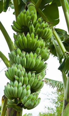 Free Green Bananas On A Tree Stock Image - 20987001