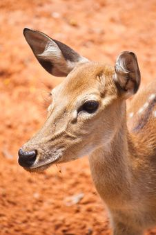 Free Fallow Deer  Close Up Royalty Free Stock Images - 20987249