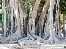 Free Ficus Magnolioide In Giardino Garibaldi, Palermo Royalty Free Stock Images - 20987479
