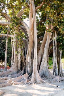 Free Ficus Magnolioide  In Giardino Garibaldi, Palermo Stock Photography - 20987482