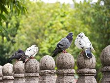 Free Pigeon Stock Image - 20987631