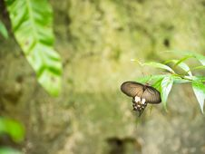 Common Mormon Butterfly Royalty Free Stock Images