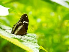 Free Great Egg-Fly Butterfly Royalty Free Stock Photography - 20987757