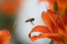 Free A Syrphus Fly Stock Images - 20988154