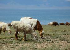 Free Sheep Are Grazing Stock Photos - 20988333