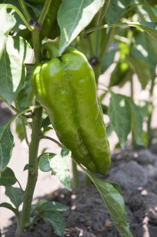 Free Pepper Stock Photo - 20988450