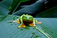 Free Blinking Tree Frog Royalty Free Stock Photos - 20988588
