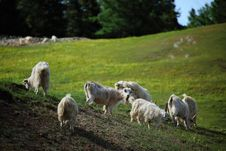 Free Sheep Are Grazing Stock Images - 20988624