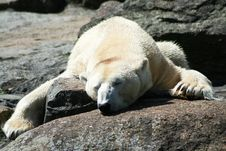 Free Polar Bear Royalty Free Stock Photography - 20988697