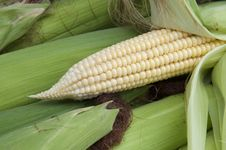 Free Corn On The Cob Stock Photo - 20988700