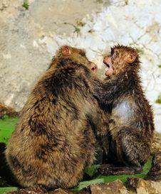 Monkey Fight Royalty Free Stock Image