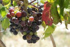 Free Beautiful Dark Grapes On Vine. Stock Photography - 20988852