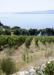 Beautiul Rows Of Grapes In Vineyeard Stock Image