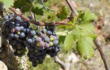 Free Purple Grapes In Vineyeard. Stock Image - 20988921