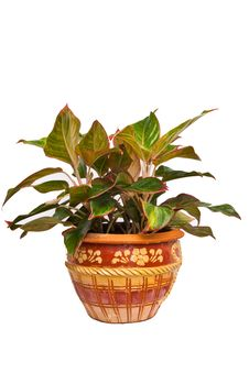 Free Ornamental Plant In The Pot Stock Photos - 20989143