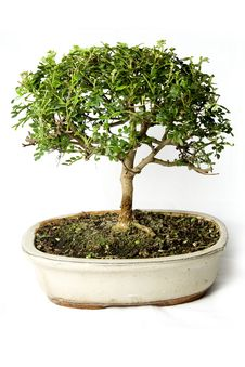 Free Bonsai Stock Images - 20989254