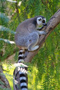 Free Ring-tailed Lemur (lemur Catta) Royalty Free Stock Image - 20990256