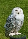 Free Snowy Owl Stock Images - 20995884