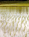 Free Newly Planted Rice Seedlings Stock Images - 20998144