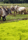 Free Oxen Being Used For Ploughing Farmland Stock Image - 20998301