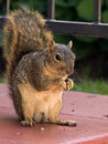 Free Squirrel Having A Meal Royalty Free Stock Photos - 20999078