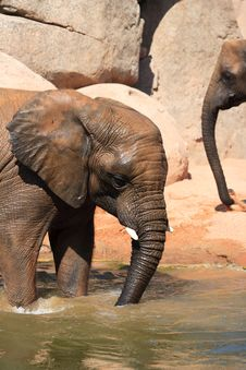 Free African Elephants Stock Images - 20990084