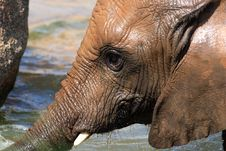 Free African Elephants Stock Photos - 20990153