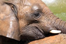 Free African Elephants Stock Image - 20990171