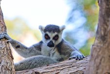 Free Ring-tailed Lemur (lemur Catta) Stock Photos - 20990173