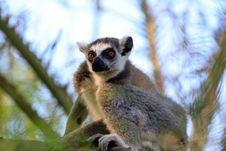 Free Ring-tailed Lemur (lemur Catta) Stock Photos - 20990213