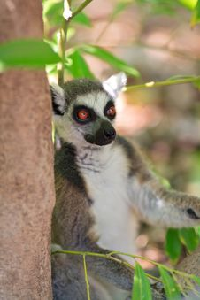 Free Ring-tailed Lemur (lemur Catta) Stock Images - 20990234