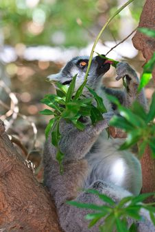 Free Ring-tailed Lemur (lemur Catta) Royalty Free Stock Photo - 20990275