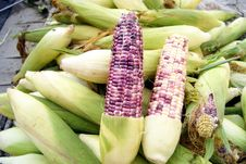 Free Corn Stock Photo - 20990960