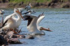 Free White Pelican Stock Photos - 20991293