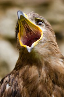Free Eagle - Aquila Nipalensis Stock Images - 20991474