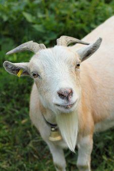 Free Curious Goat Stock Photos - 20991483