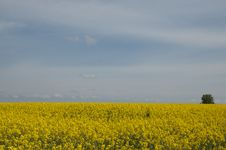 Free Rape Field Royalty Free Stock Photography - 20991497