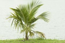 Free Coconut Plant Stock Images - 20991804