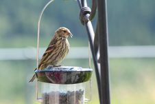 Free Finch On A Birdfeeder Royalty Free Stock Images - 20992109